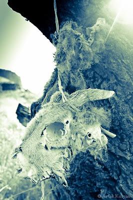 կենդանու փտած գլուխ ծառից կախված