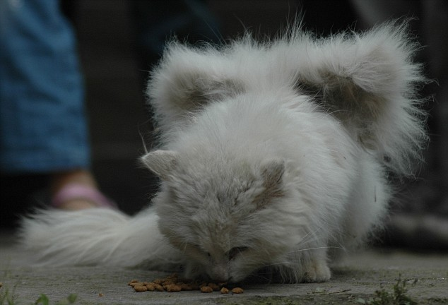 Fenomena Ganjil - Kucing Yang Memiliki Sayap [ www.BlogApaAja.com ]