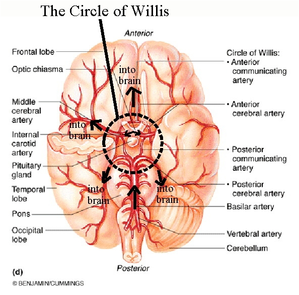 The circle of willis pinoy nurses galore there is a grouping of arteries near the base of the brain which is called the arterial circle of willis it is named after a very influential english ccuart Gallery
