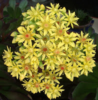 yellow succulent flowers