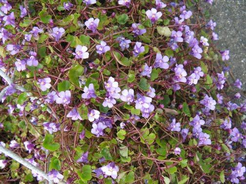 kenilworthy ivy