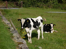 Irish lazy cows