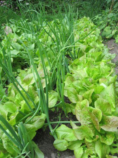 Heute Lasse Ich Euch Einen Blick In Meinen Gemüsegarten Werfen, In Dem Der  Salat Nun Beträchtlich Sprießt Und Ich Endlich Frischen Salat Genießen Kann.
