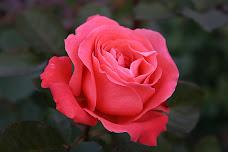 rosa libera