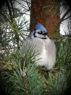 blue jay trying to stay warm