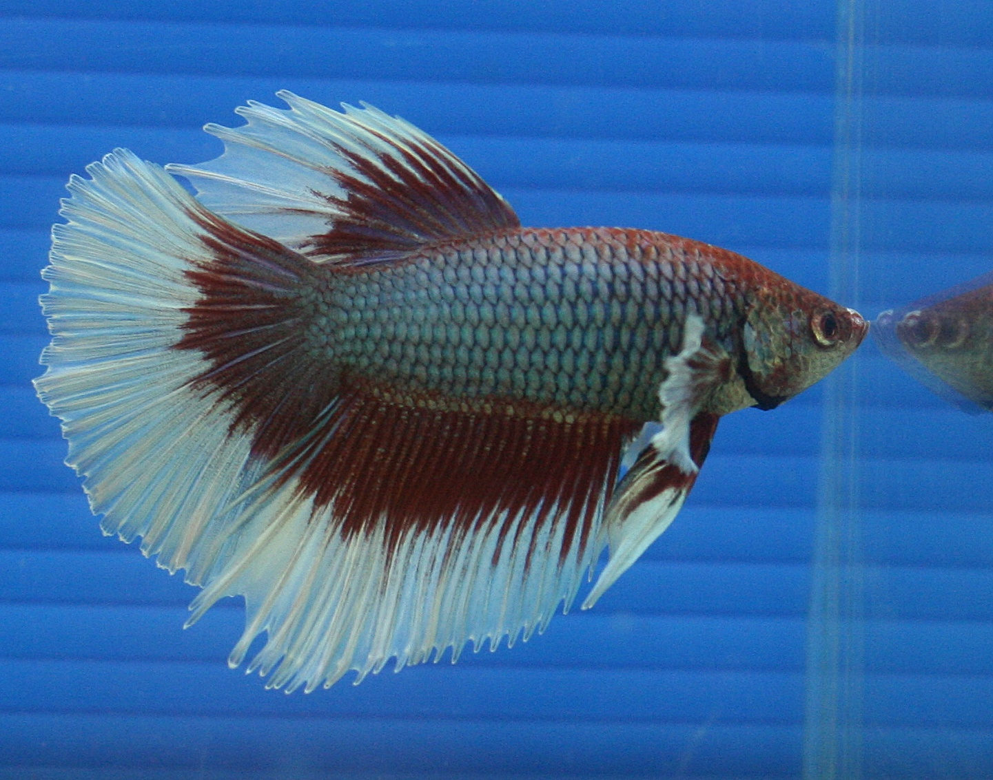 Japanese fighting fish are small beautiful and fighters for Japanese fighter fish