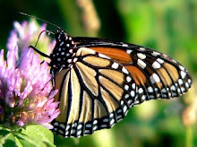 Monarch Butterfly on red clover