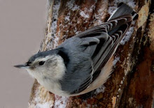 White-breasted Nuthatch female
