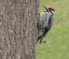 Yellow-bellied sapsucker female