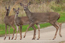 Mama and twins White Tailed deer