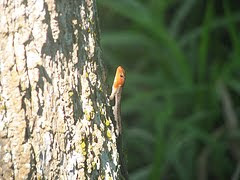 Lizard at BREC&#39;s Bluebonnet Swamp