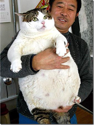 fattest cat ever