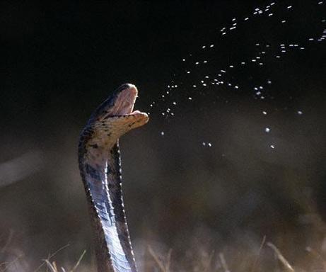 ���� ������� ���� ����� spitting-scary-cobra-snake.jpg