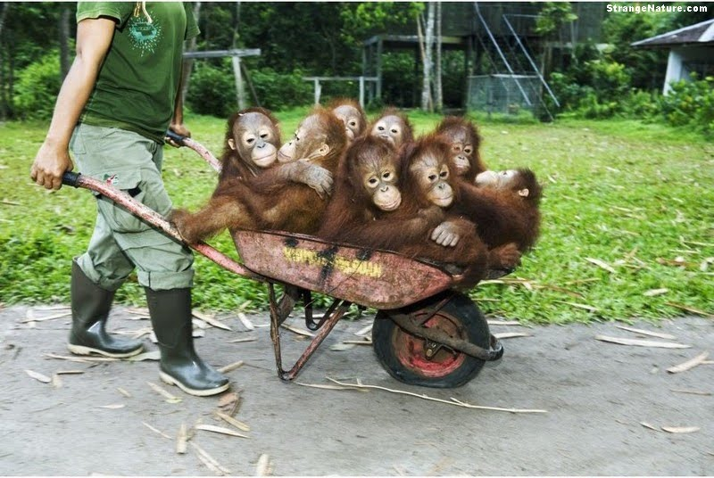 funny images of monkeys. Eight funny monkeys in a