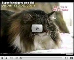 Super Fat Cat from Japan