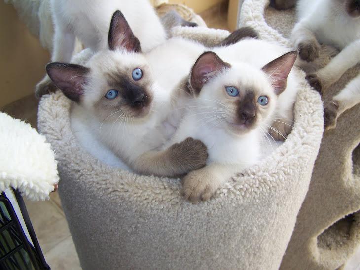 Seal pt kittens