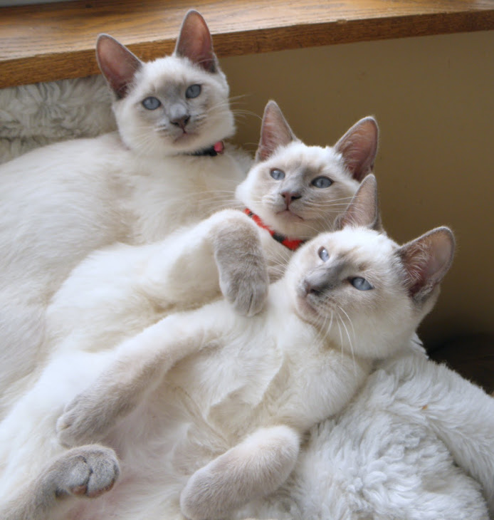 We have four lilac boys available ,Grayson and Summers .