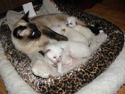 Bella has kittens born Jan . 1   four are Balinese , one is Siamese .
