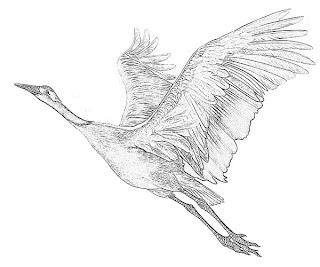 Swan Bird Sketch