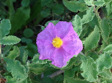 Cistus Incanus / Creticus THE EUROPEAN PLANT OF THE YEAR 1999