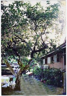 kerengga tree