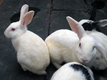 Resident rabbits