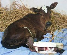 Little calf with broken legs
