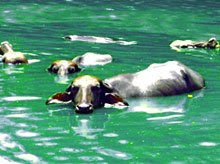 swimming buffaloes