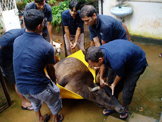 Cow being carried by our staff