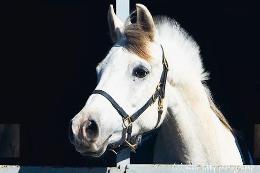 arabian horse wallpaper. horse head profile. Arab horse