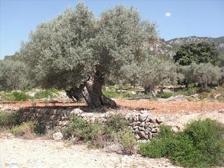 Nombroses oliveres molt antigues es poden trobar al llarg del camí