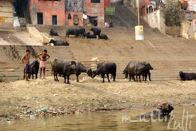 krowa w Gangsie