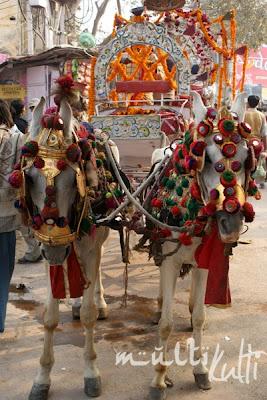 Indie Waranasi konie