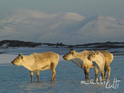Spitsbergen renifery