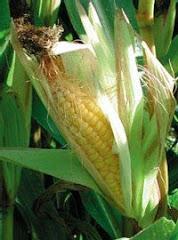 110 millones de hectàreas se dedican a cultivos biotecnològicos.