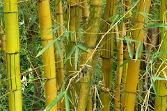 Bamboo en Tonacatepeque