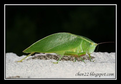 Download Image Bright Green Bug That Looks Like A Leaf PC Android