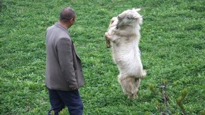 http://4.bp.blogspot.com/_eyBbcdYh1Ow/S6Ibz3J0GoI/AAAAAAAADQg/hOVItz2Jm60/s400/dancing_goat.jpg