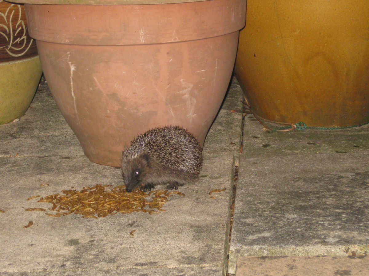 how to catch a hedgehog in my garden