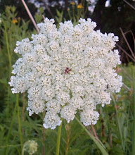 Queen Ann&#39;s Lace