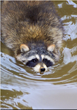 Racoon Swimming