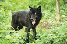 Wolf in black phase, Canada