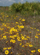 A Field of Yellow Coreopsis Flowers