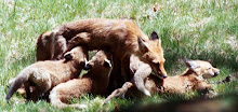 Fox Family