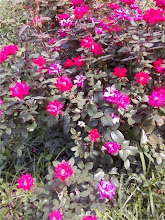 Rose bush in median on Houston