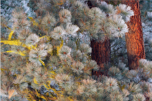Pine Tree with frost