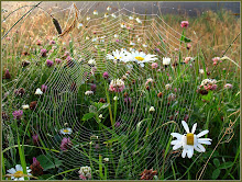Daisies spiderweb