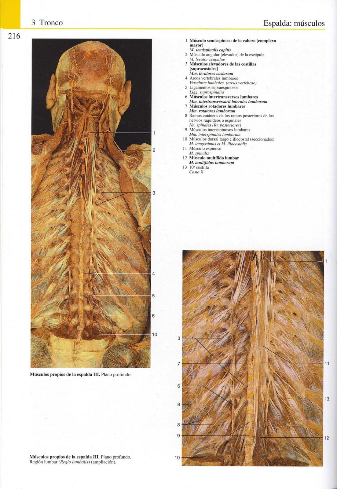 Hermosa Anatomía Músculos De La Espalda Foto - Anatomía de Las ...