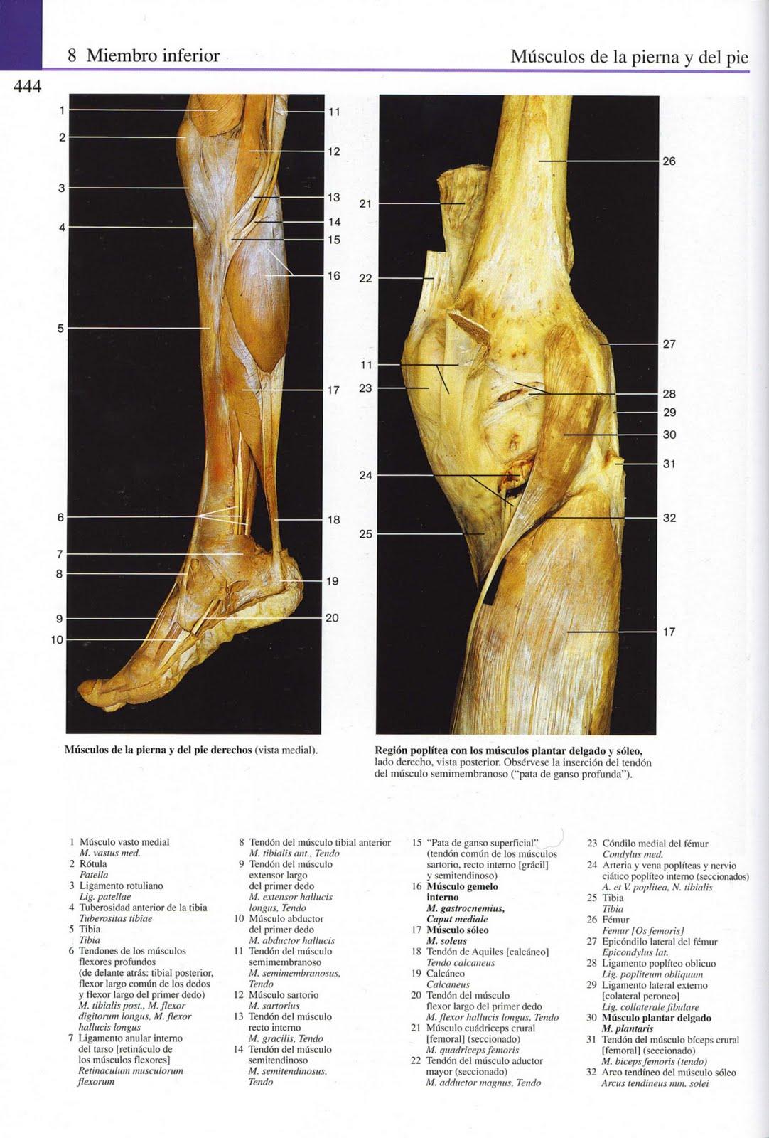 Lujo Tendones De La Pierna Anatomía Bosquejo - Anatomía de Las ...