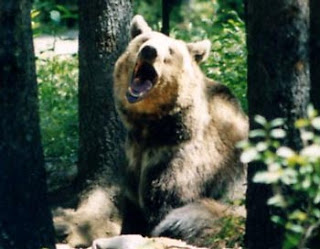 Big yawning grizzly bear